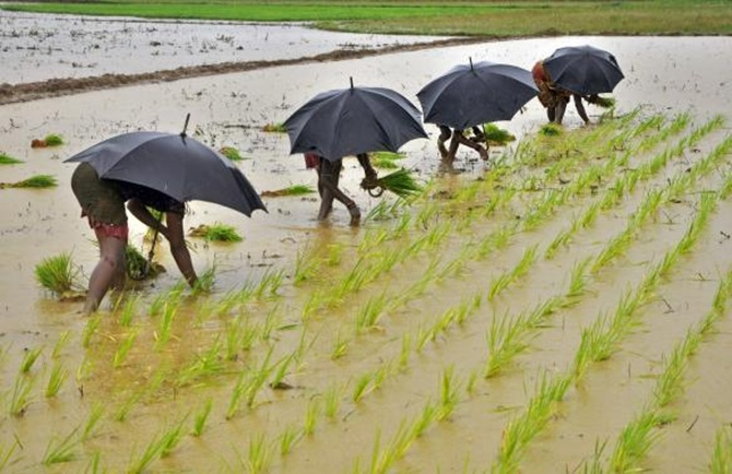 Labourers plant saplings in a paddy field on the outskirts of Bhubaneswar.