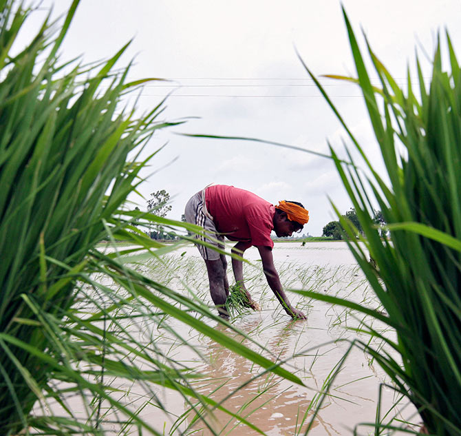 A farmer plants rice saplings in a paddy field against the backdrop of pre-monsoon clouds in Amritsar.