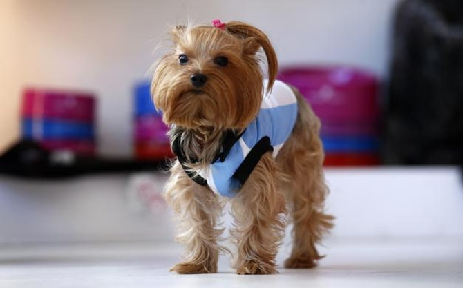 A Yorkshire terrier named Lula wears an Argentine soccer jersey at a pet clothing store in Buenos Aires