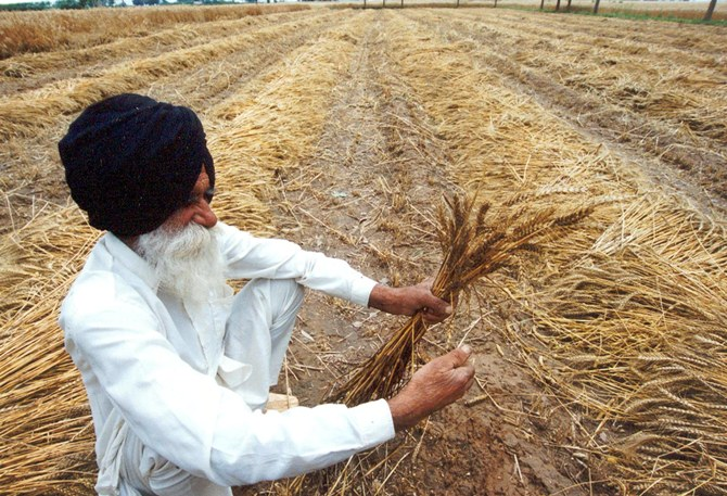 An Indian farmer with his damaged crop in a village near Chandigarh.