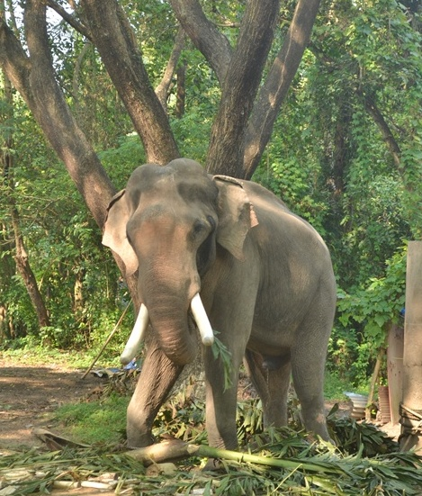 Temples are looking at reducing the number of elephants.