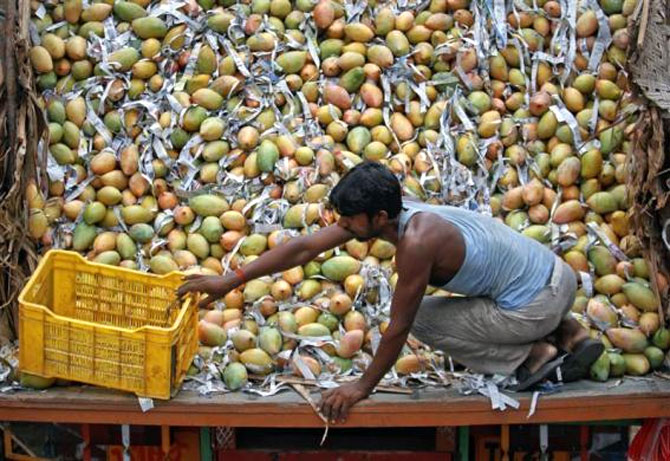 A labourer pulls a basket to fill it with mangoes from a supply truck at a wholesale fruit market on the outskirts of Ahmedabad.