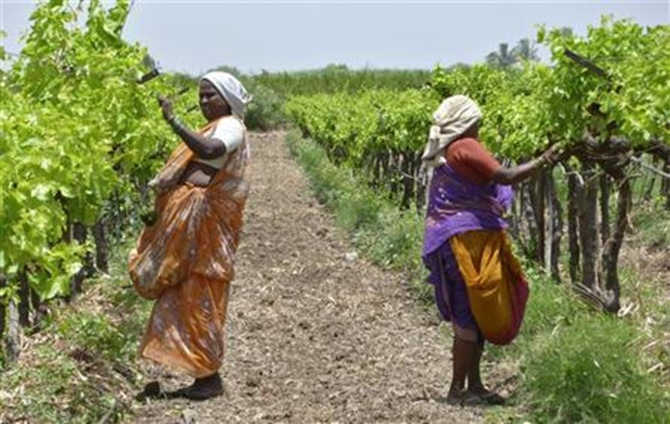 Farm labourers prune grapevines in an orchard.