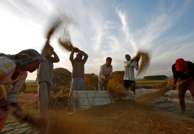 Kashmiri farmers thrash paddy crop in Srinagar.