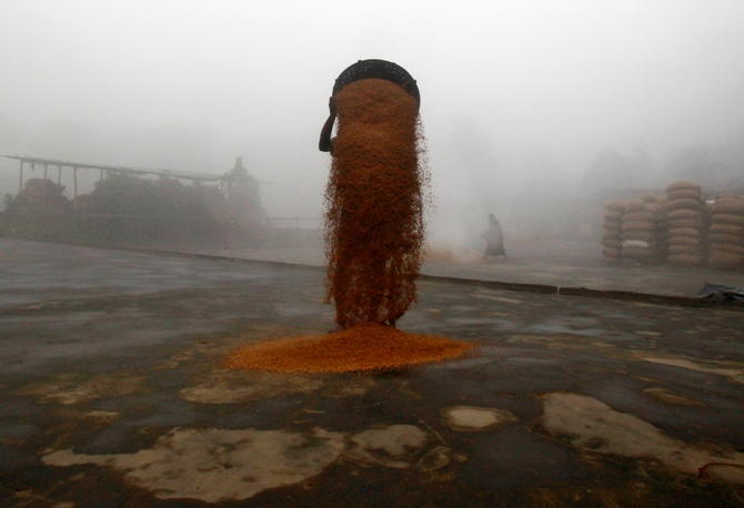 A worker spreads paddy crop for drying at a rice mill on a foggy morning on the outskirts of Agartala.
