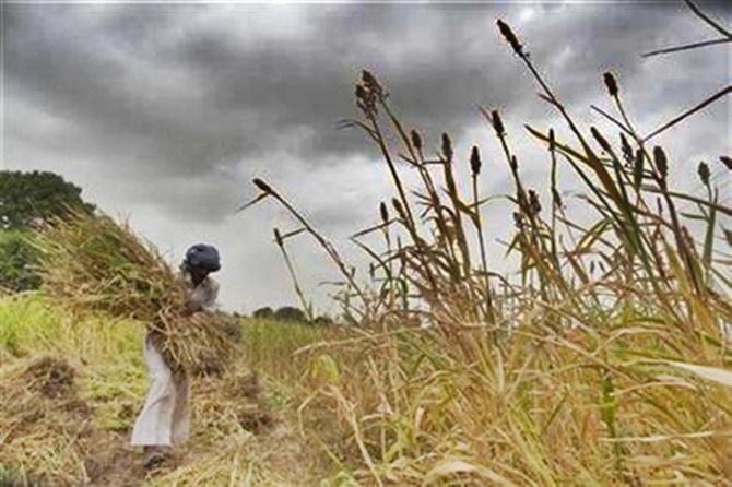 A farmer harvests partially damaged crop due to lack of rain at Sami village in Gujarat.