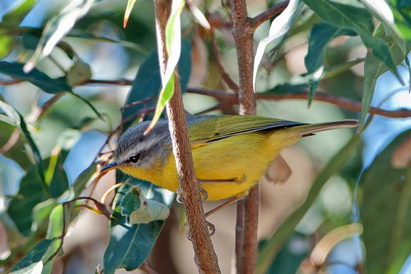 A Gray hooded warbler in Jungle Lore Lodger, Pangot.