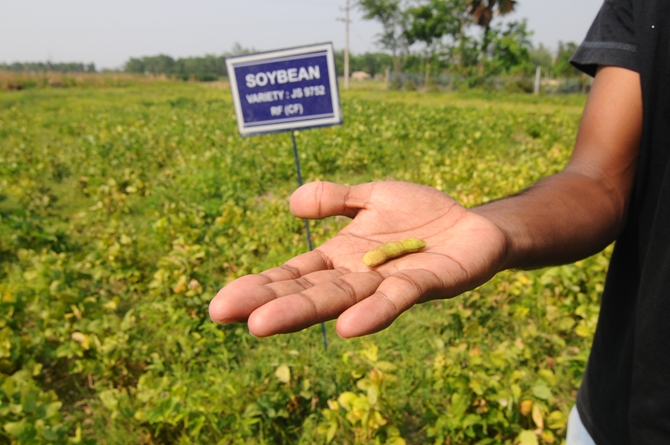Soyabean cultivation