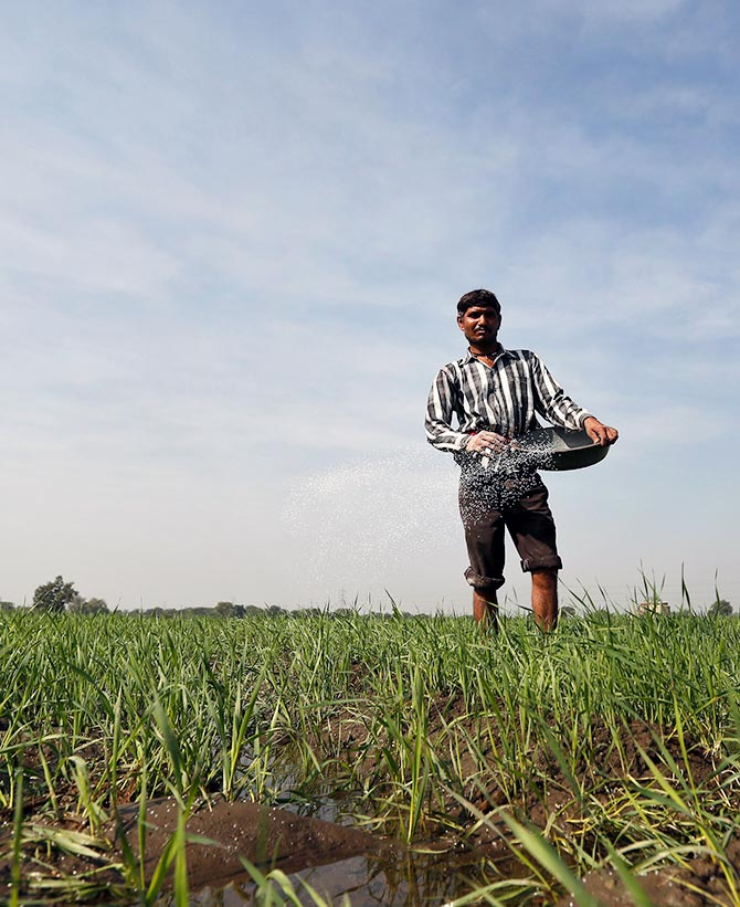A farmer spreads fertilizer in his wheat field on the outskirts of Ahmedabad, India