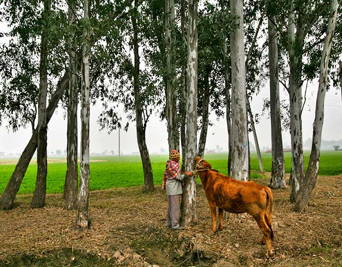 A villager ties his cow to a tree at Nai Basti village near the India-Pakistan border, southwest of Jammu January 17, 2013. Mukesh Gupta/REUTERS