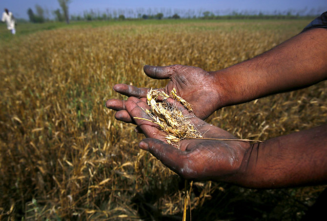 Wheat crop destroyed by unseasonal rain