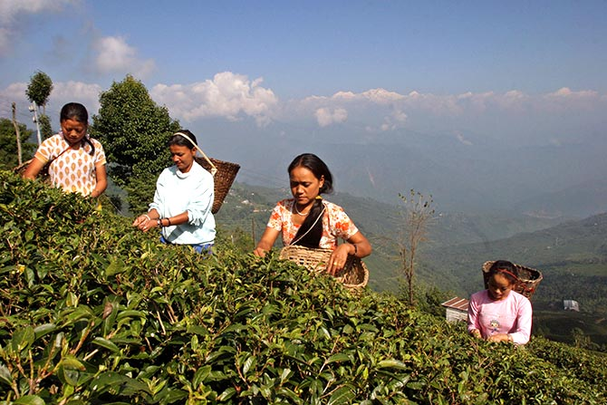 Workers gather tea leaves at a tea garden estate in Darjeeling. Photo: Rupak De Chowdhuri/Reuters