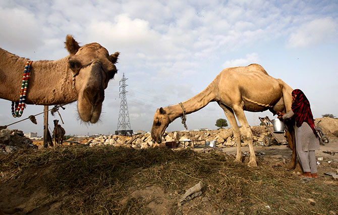 A woman milks a camel whose milk she sells by a roadside in Karachi, Pakistan, July 29, 2015. Photograph: Athar Hussain/Reuters