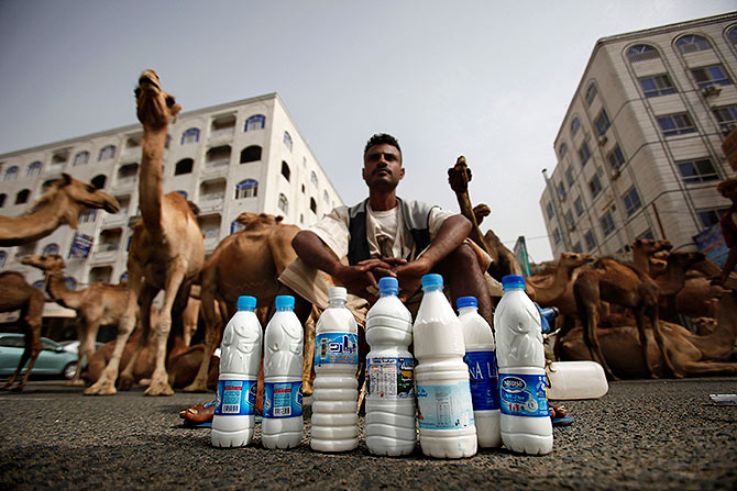 A Bedouin selling camel milk waits for customers as he sits near his camels in the southern Yemeni city of Taiz, July 21, 2011. Photograph: Khaled Abdullah/Reuters