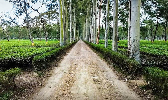 Mokalbari Tea Estate Assam. Photograph: Courtesy Mokalbari Tea Pvt Ltd/Facebook.