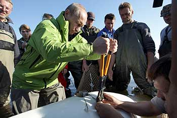 Putin attaches a satellite tracking tag to a Beluga whale named Dasha