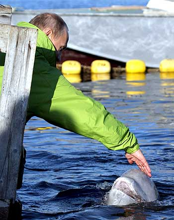 Putin strokes the Beluga whale during his visit to Chkalov island