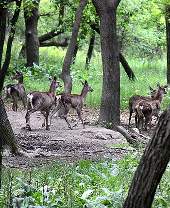 Kashmiri red deer Hangul seen in the Dachigam Wildlife sanctuary on the outskirts of Srinagar