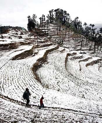 A farmer inspects a snow covered cauliflower field after snowfall near Kufri