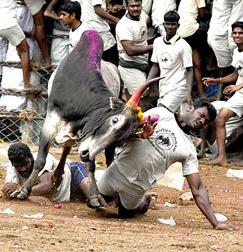 Jallikattu at Madurai
