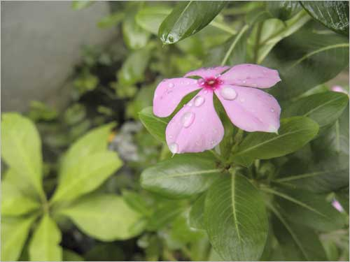 The delicate flower of <i>Sadaphuli</i> (perrenial bloom) smiles even more with the arrival of monsoon.