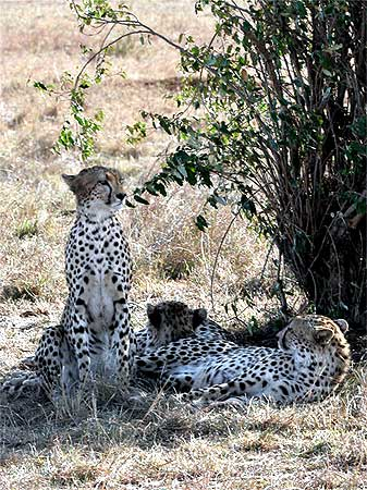 Cheetahs, called hunter leopards by the British, were popular for hunting for their swiftness