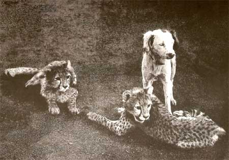 Cheetah Cubs and dog, a photograph taken by Major G S Rodon in Dharwar, Karnataka, in 1897