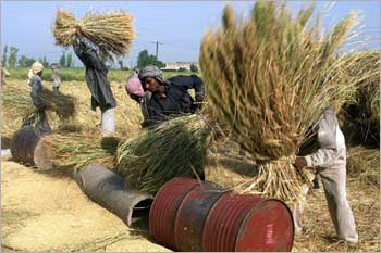 Farmers seperating rice in Amritsar, Punjab.