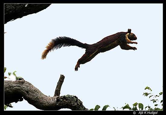 The squirrel jumps
