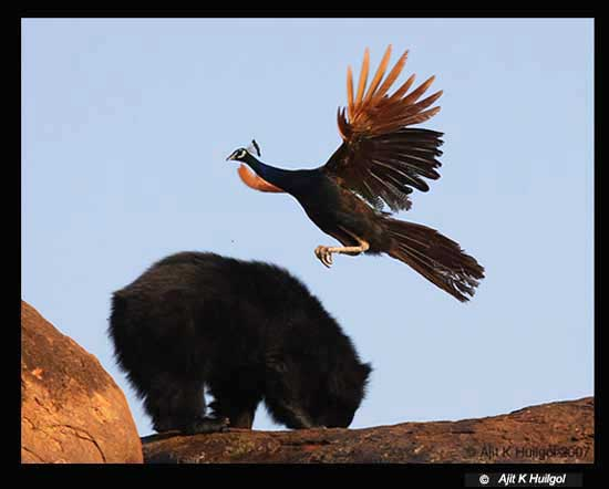 A peacock flies over a feeding sloth bear