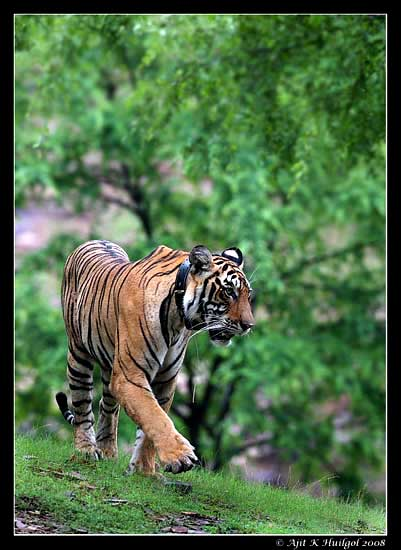 A tiger cub at Ranthambhore