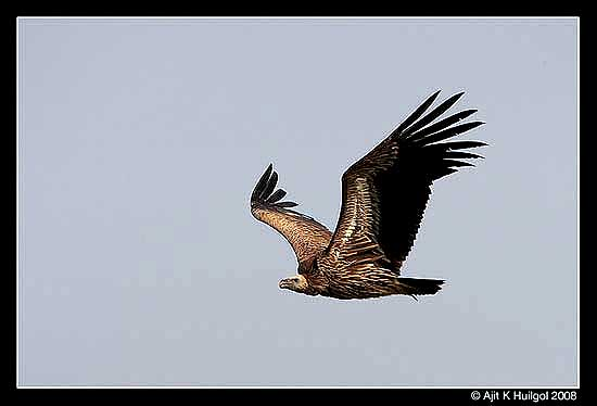 The Eurasian griffon