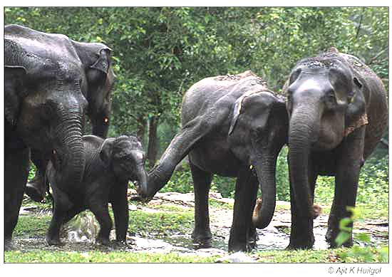 The elephants try to discipline the unruly calf