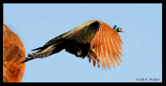 A peacock in flight