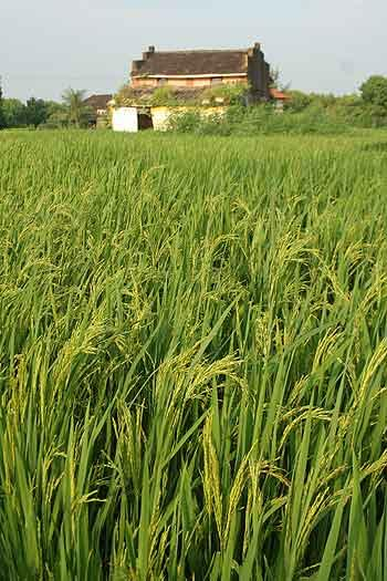 Paddy fields in Div village, Raigad, Maharashtra