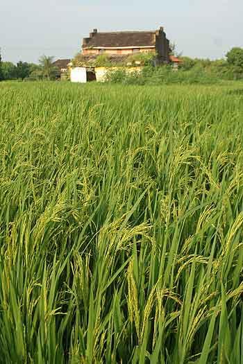 Paddy fields in Div village, Raigad, Maharashtra