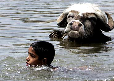 A boy and buffalo cool themselves in Tawi River in Jammu