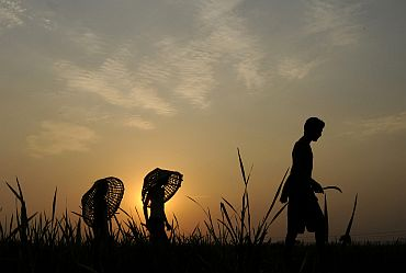 Farmers are silhouetted aas they walk through a paddy field on the outskirts of Agartala