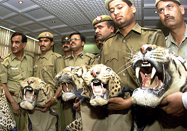 Policemen hold tiger parts seized from poachers