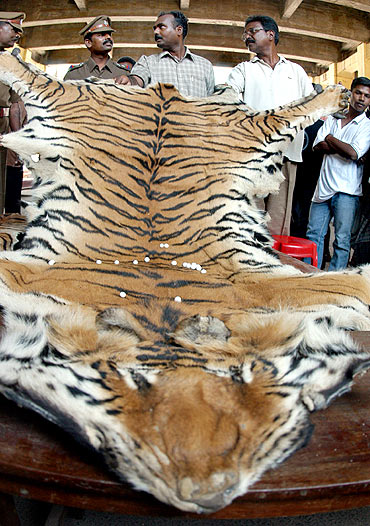 Police officers display a tiger skin seized from a poacher