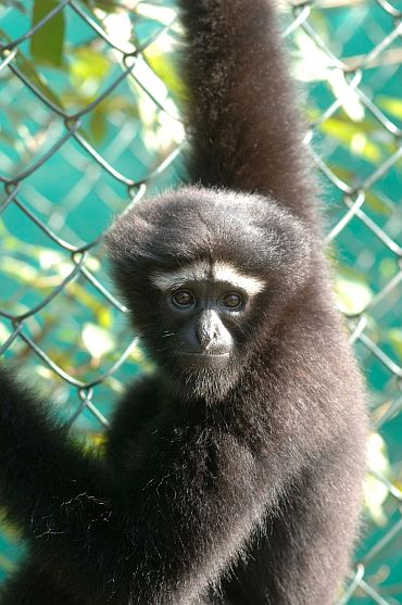 Western hoolock gibbon (Hoolock hoolock), found in Bangladesh, India and Myanmar