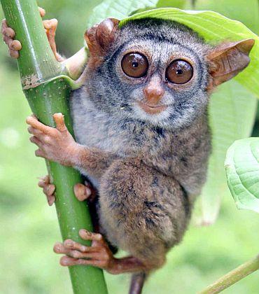 Siau Island tarsier (Tarsius tumpara), found in Indonesia (Siau Island)