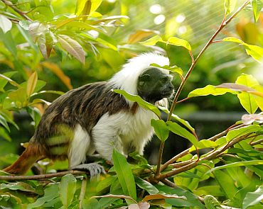 Cotton-top tamarin (Saguinus oedipus), found in Colombia