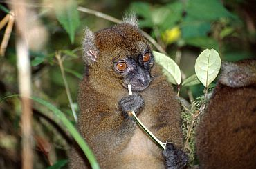 Greater Bamboo Lemur (Prolemur simus), found in Madagascar