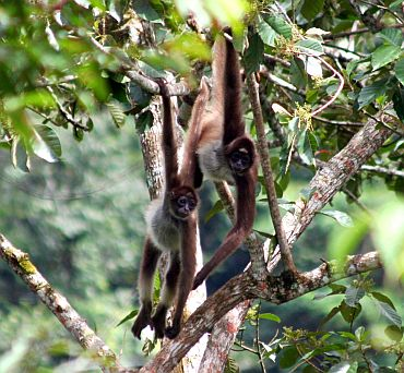 Variegated spider monkey (Ateles hybridus), found in Colombia and Venezuela