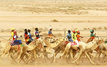 Camels race during a festival on the outskirts of Riyadh