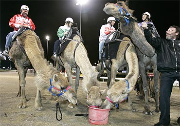 Camels are fed after finishing a race in Riyadh.