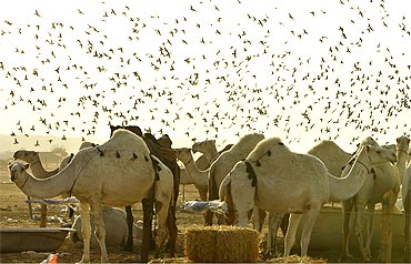 Pigeons hover over camels at a market in Riyadh