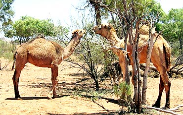 Two wild camels graze in Outback in central Australia.
