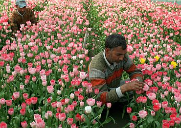 A million tulips bloom in Kashmir